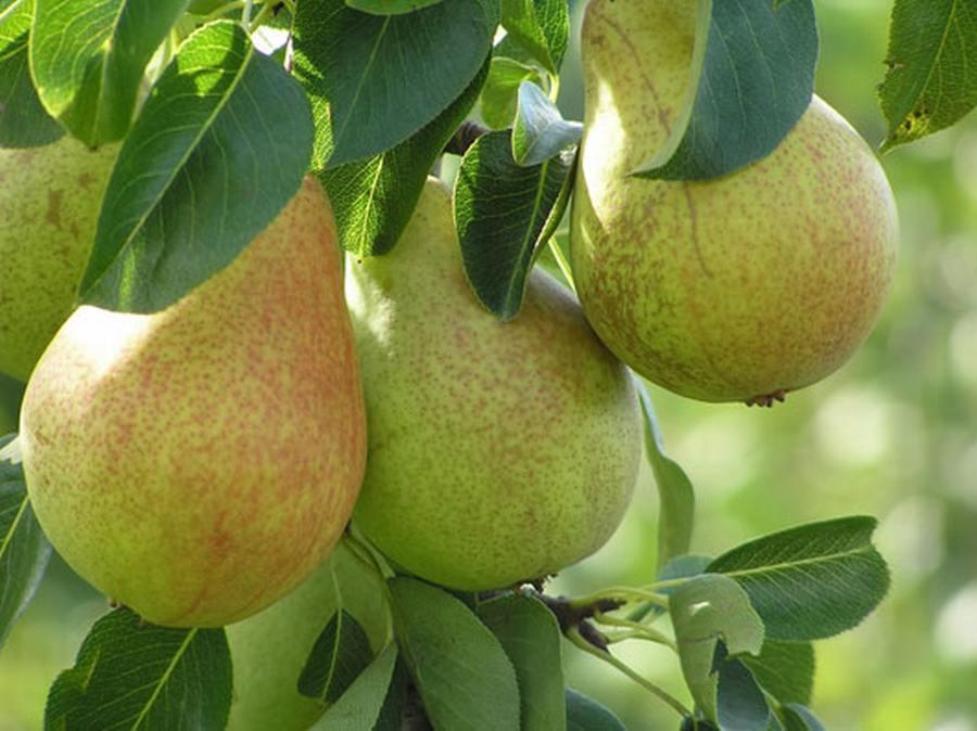 Frutta di Stagione: Pere Williams